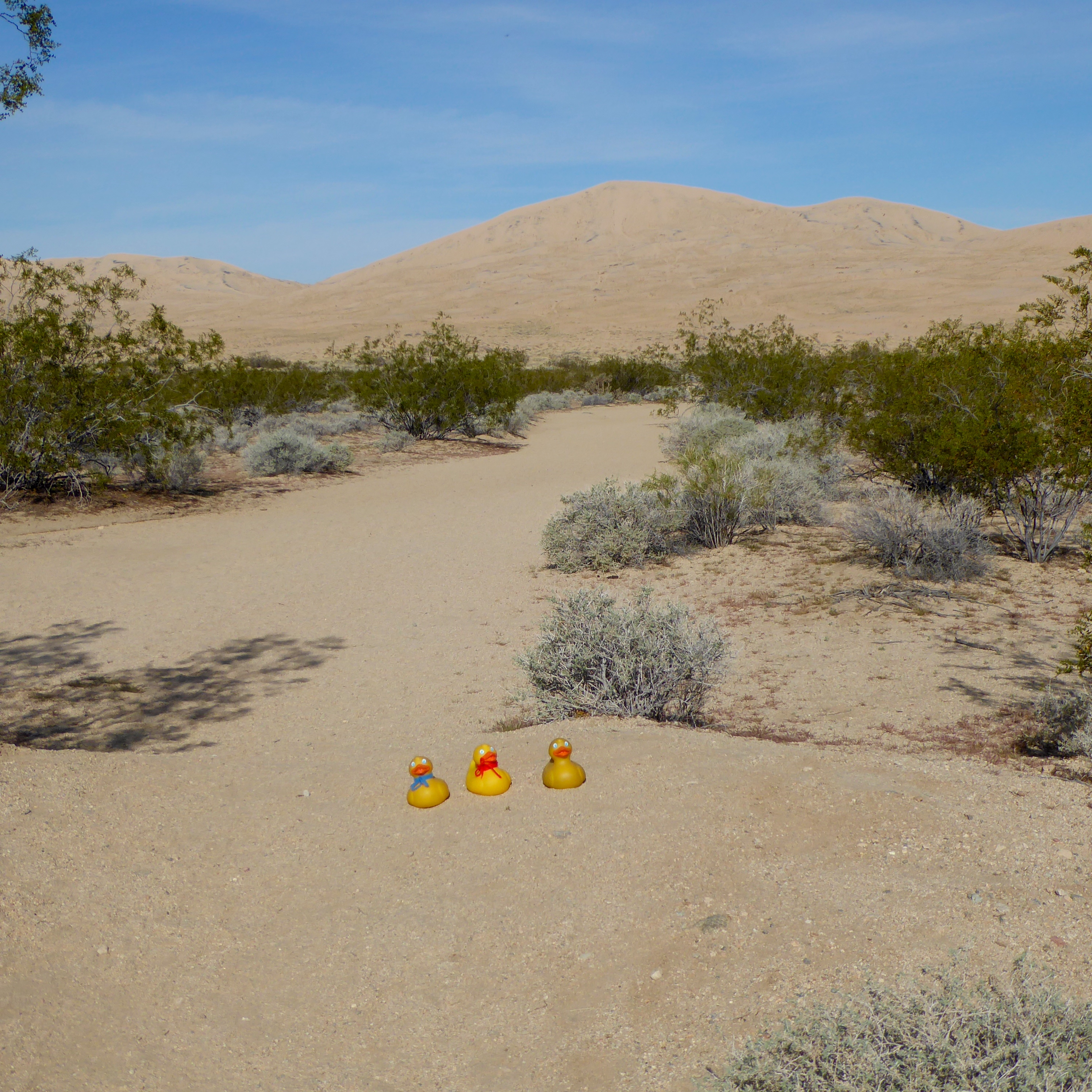 Mojave Desert Native Plants: The Colorado Traveling Ducks Visit The Mojave Desert