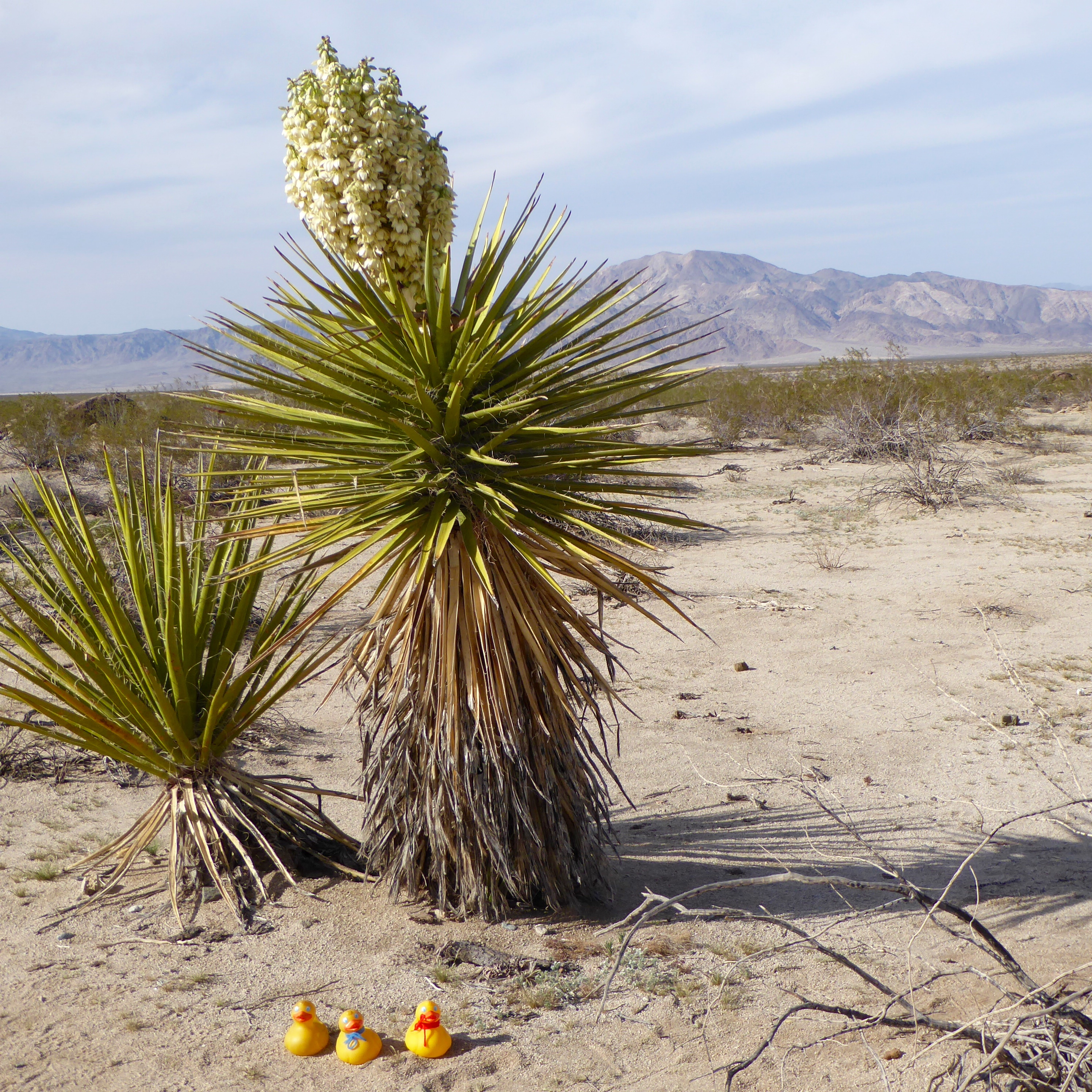 Yucca plant – Colorado Traveling Ducks