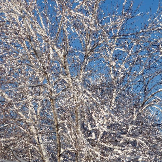 Snow covered trees glisten in Colorado sun
