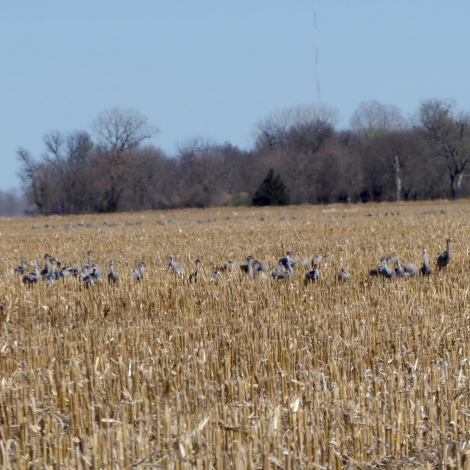 Groups of Sandhill Cranes eating in corn fields