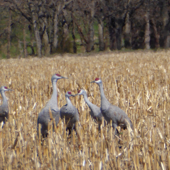 Sandhill cranes watching us