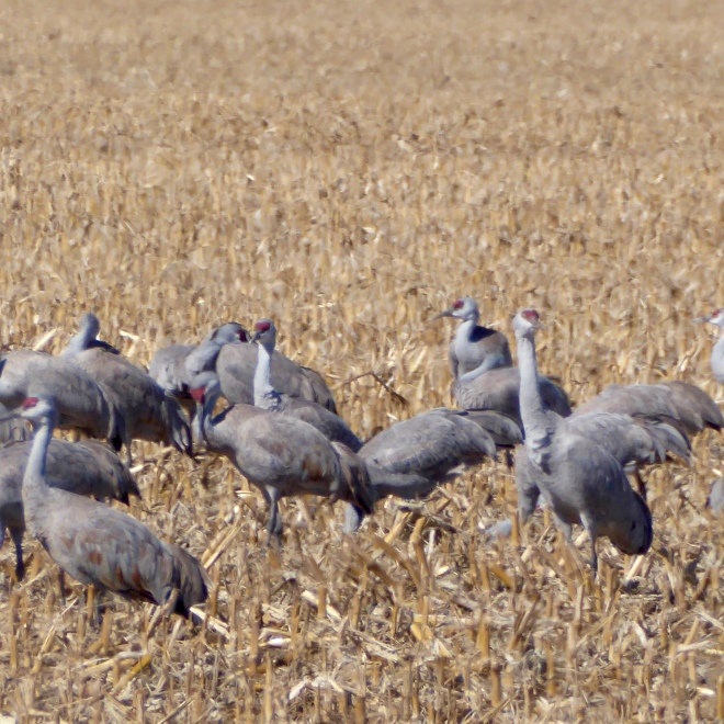 Some cranes eat and some cranes watch for threats