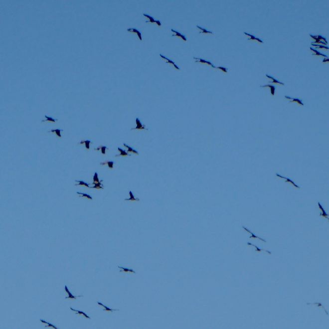Cranes flying to river