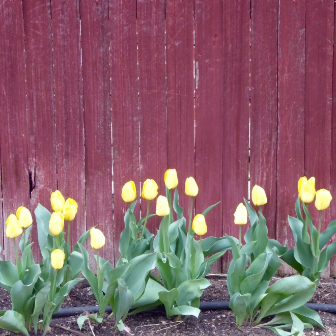 Duck yellow tulips