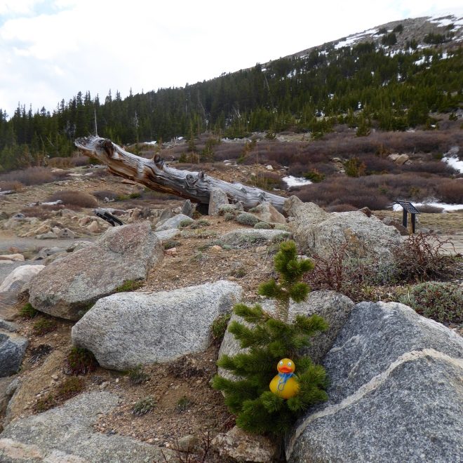 Soapy sitting in a small Rocky Mountain bristlecone pine