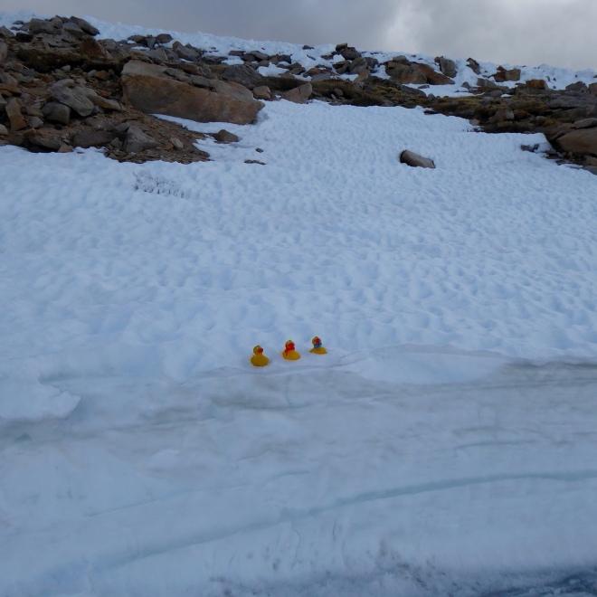 Colorado Traveling Ducks in the snow