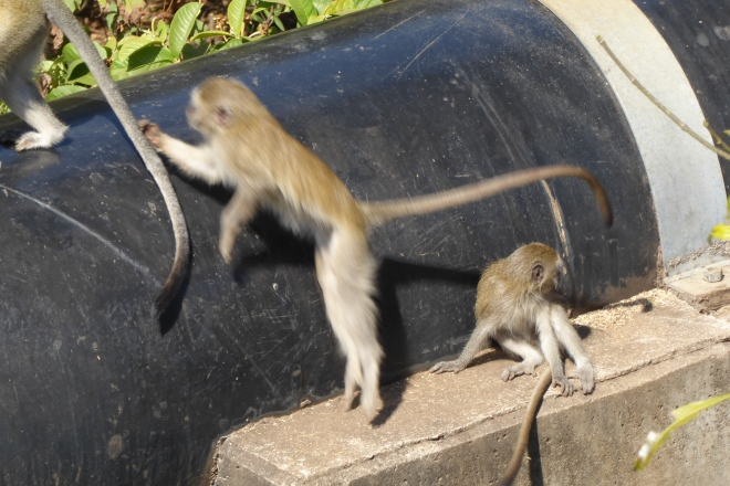 Monkeys are so playful