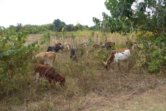 Many goats.