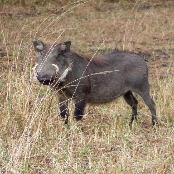 Wart hog Liwonde National Park, Malawi