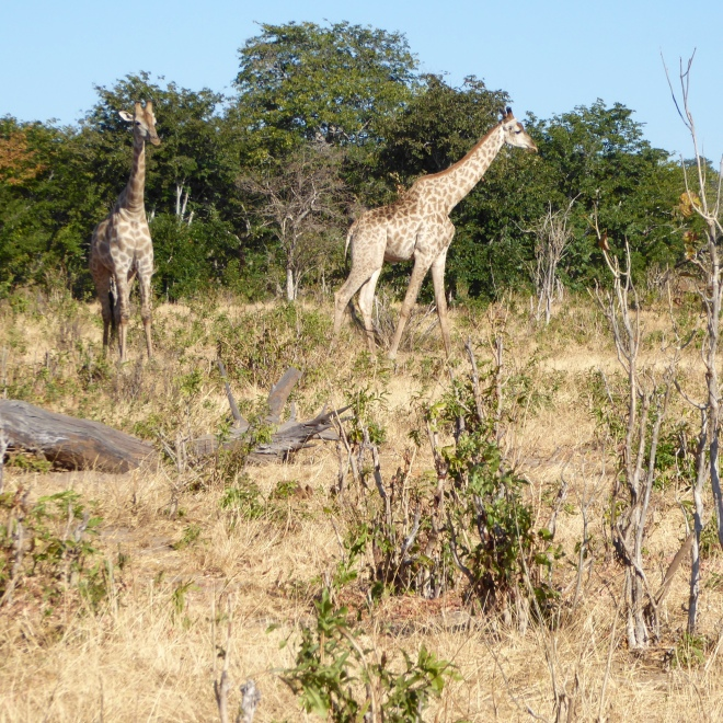 Giraffes at Chobe National Park, Botswana
