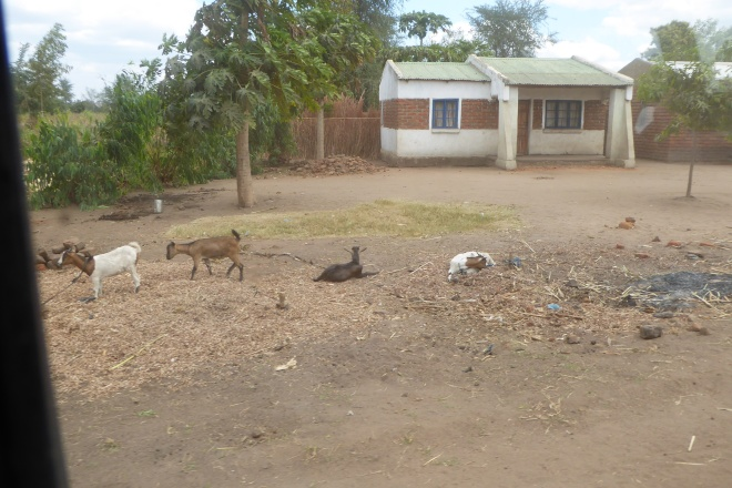 House with nearby goats