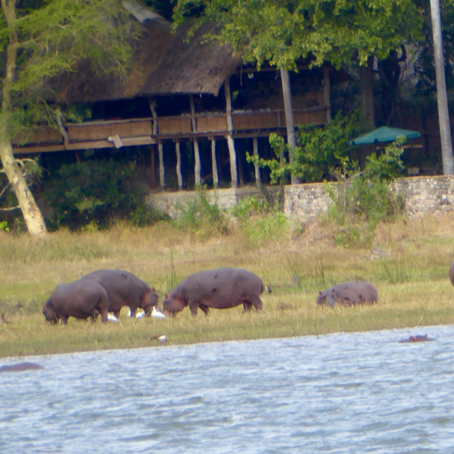 Hippos on the bank of the Shire River
