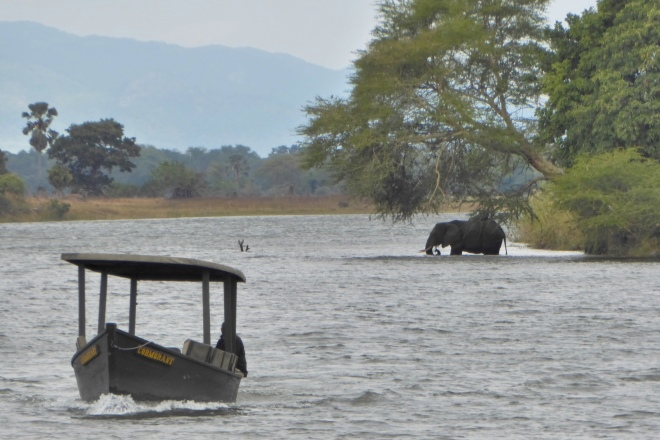 Elephant in the Shire River