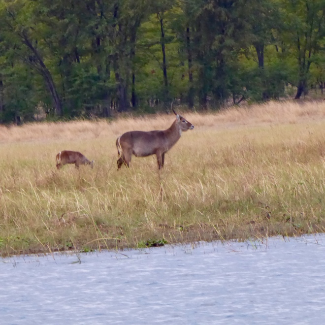 Waterbuck with young