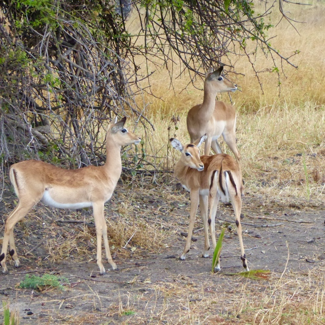 Impalas. So graceful