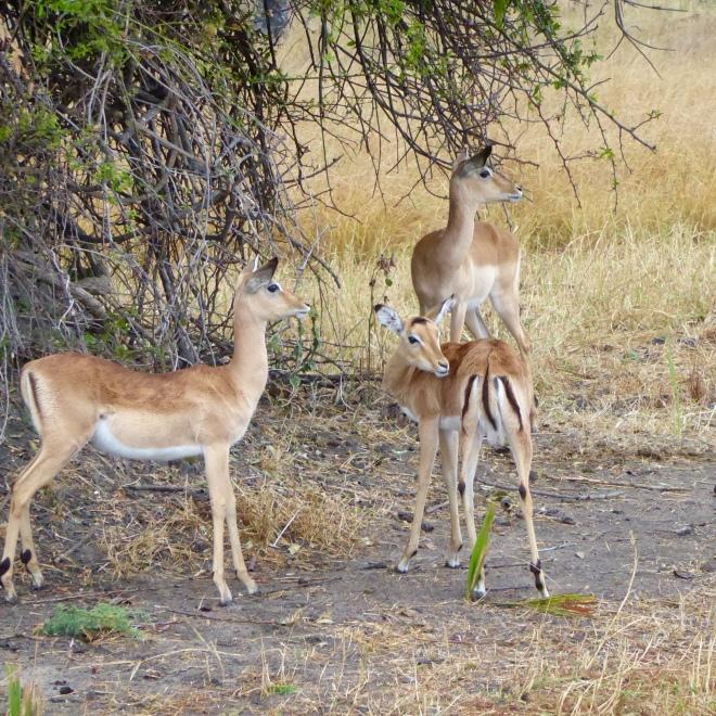 Impalas. So graceful