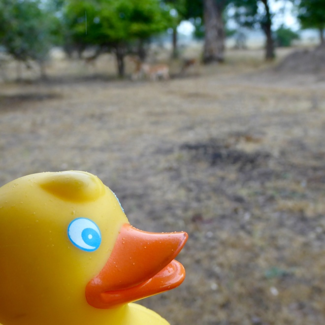 I, Zeb the Duck, am on this safari also