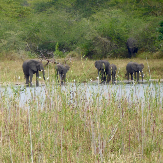 Elephants by Shire River