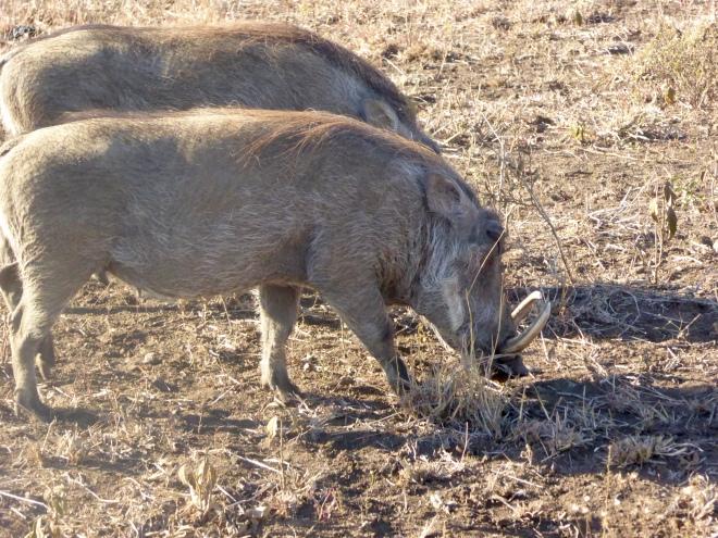 Warthogs grazing