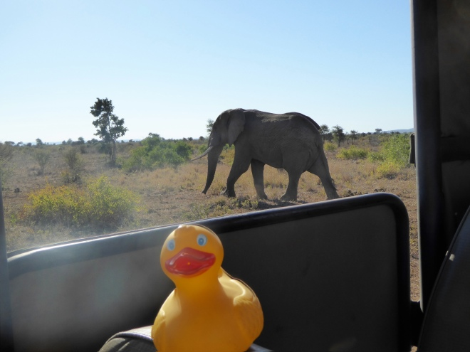 Elephants are really close