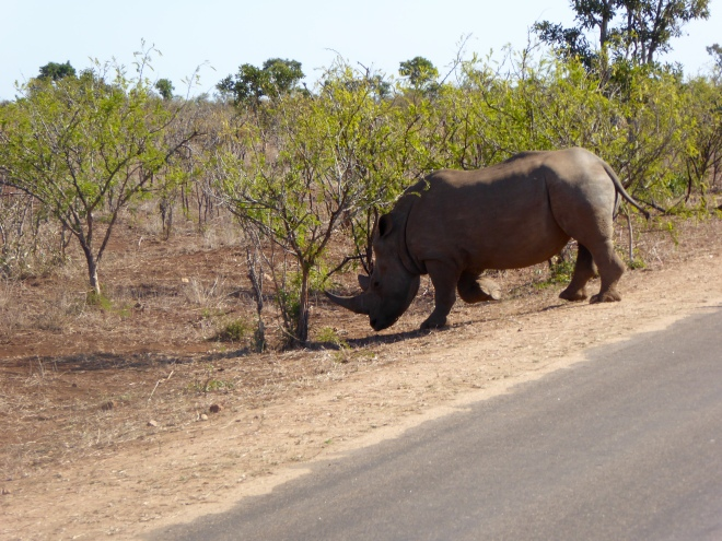 Rhino crossed in front of our safari vehicle.