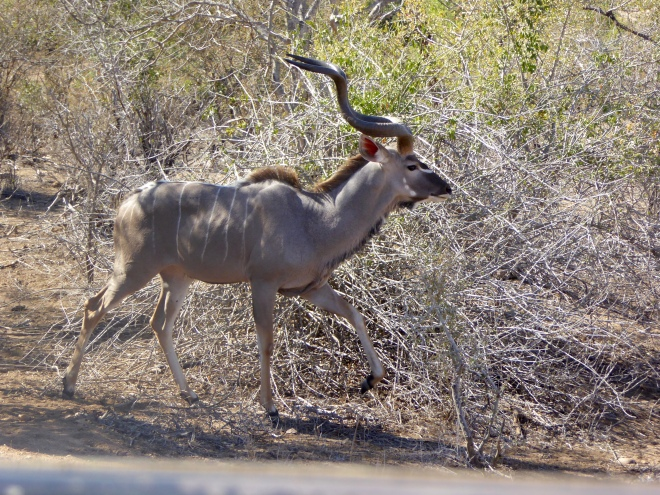 Kudu. Love those twisted horns