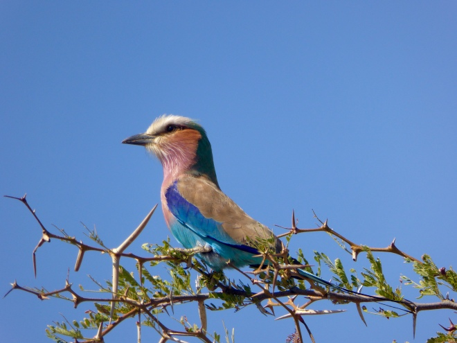 Botswana's Lilac-Breasted Roller
