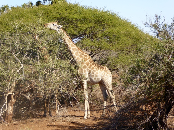 Giraffe enjoying a snack