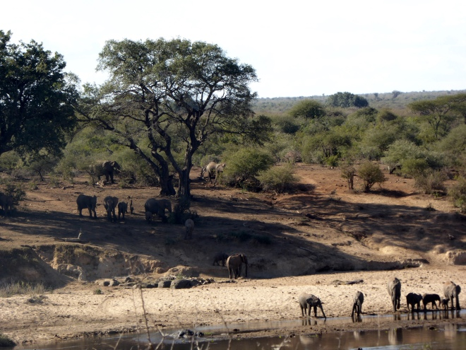 Elephants by the river in Kruger National Park, South Africa