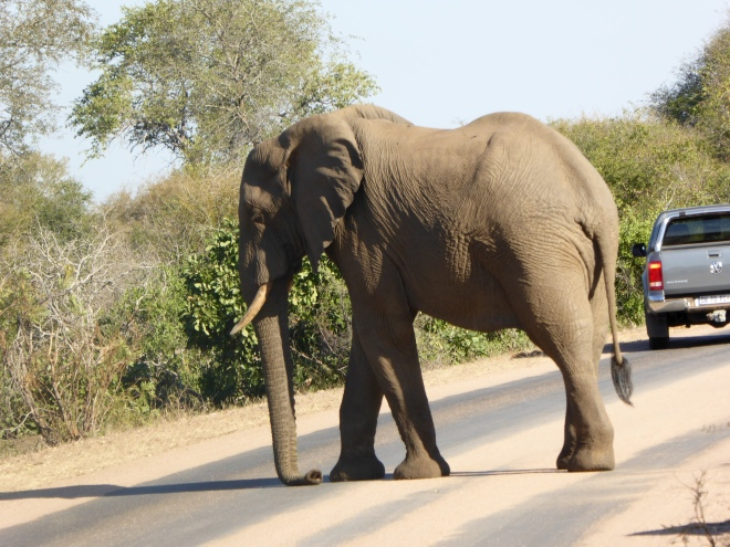 This elephant is king of the road