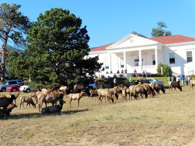 Elk herd on the Stanley lawn in 2014