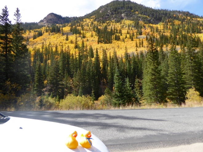 Yellow aspen with evergreen trees.