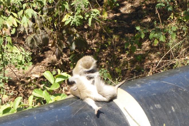 Monkeys by road in Lilongwe