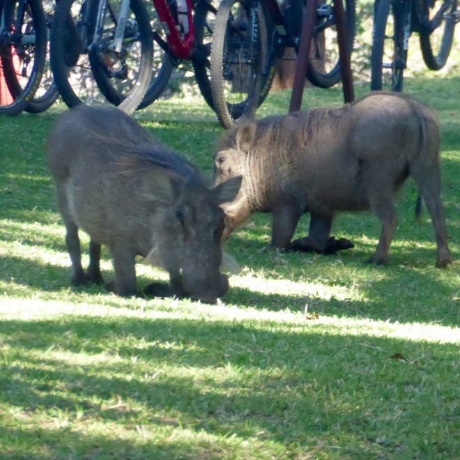 Warthogs on the resort lawn