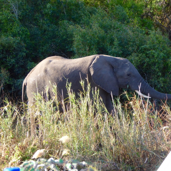 Our first Zambian elephant