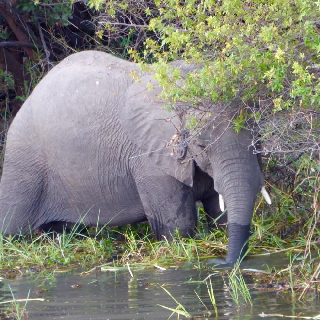 Elephant drinking from the Zambezi River