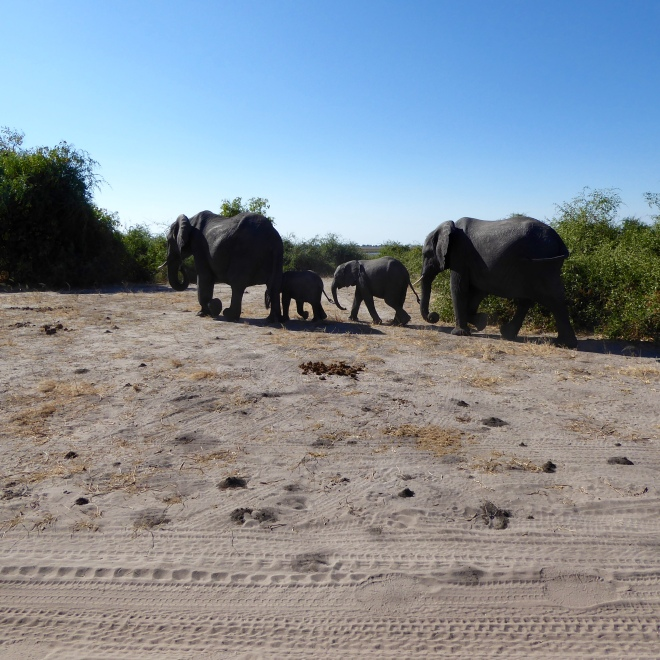 Elephants, adult and young