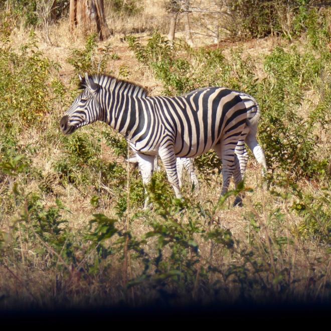 Zeb's first zebra
