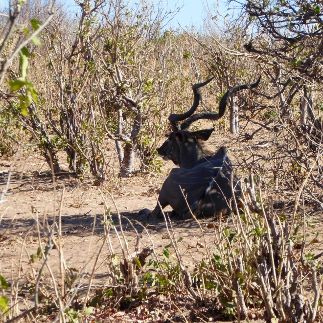 Kudu. See those horns?