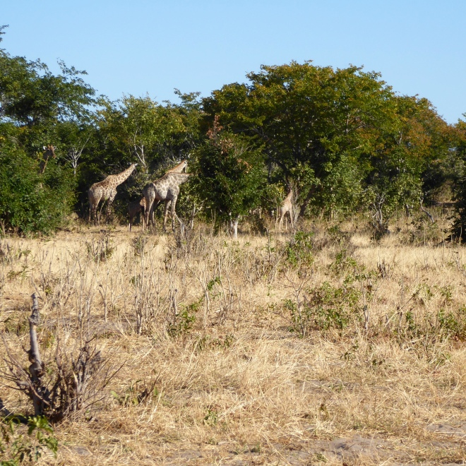 Giraffes with young on the right