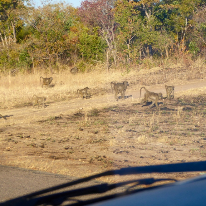 Wild baboons along the road