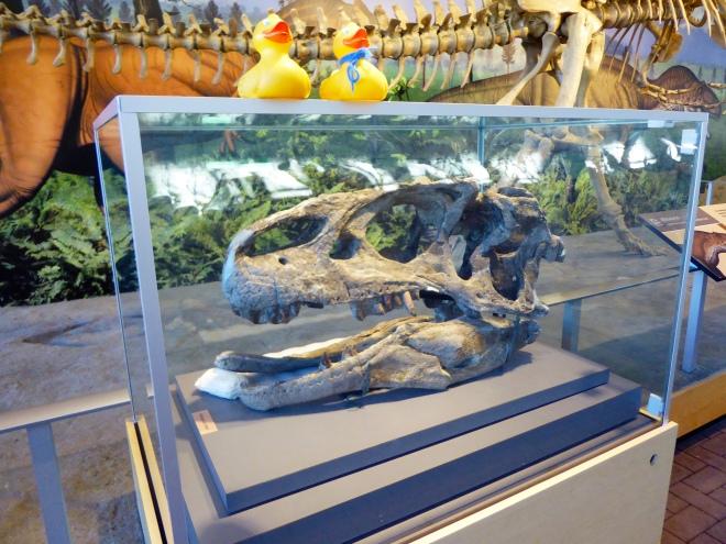 A real dinosaur skull. Allosaurus