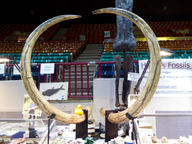 Tusks of Alaskan female mammoth
