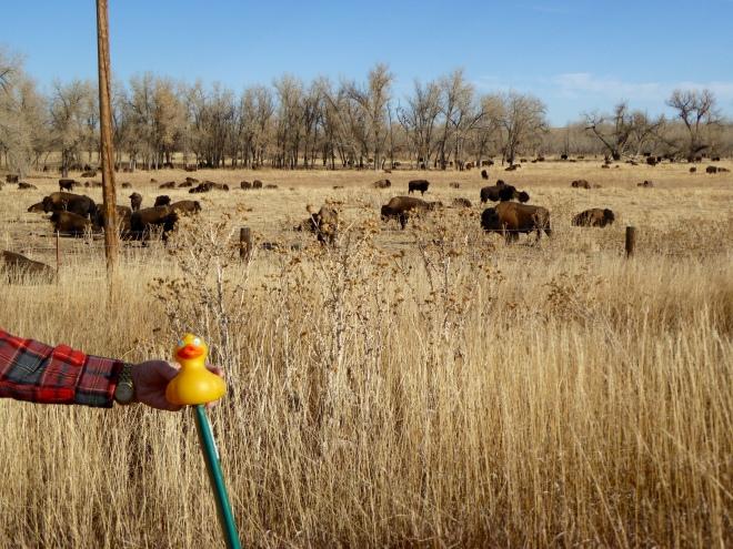 Herd of buffalo near Highway 36