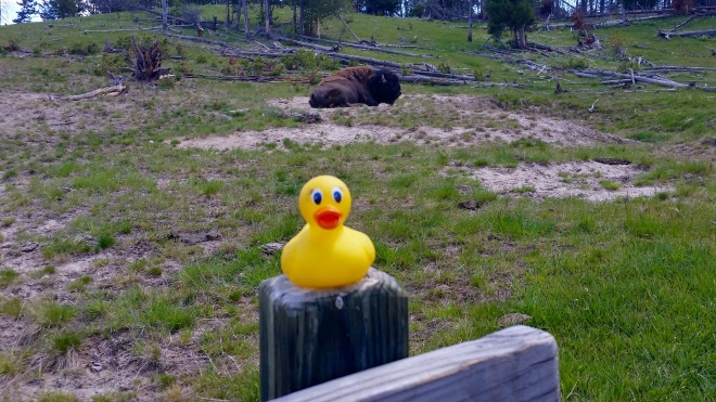 Ms. Ducky. There is a buffalo behind you
