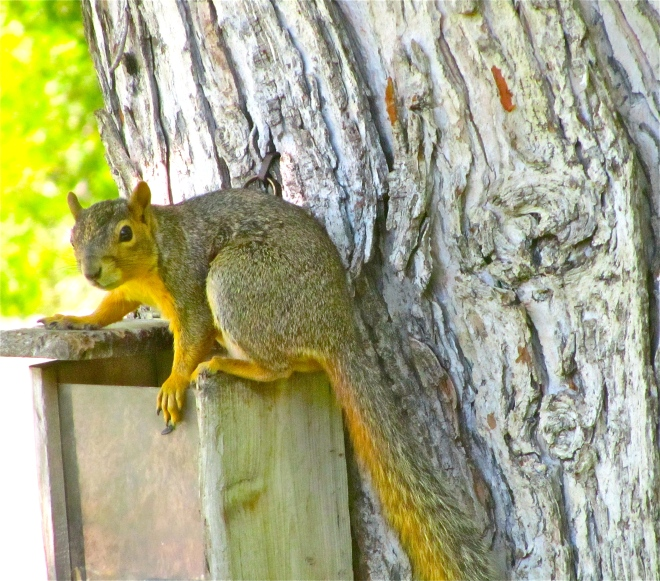 A squirrel on his feeder in my yard.